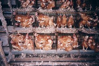 Med_19672_battery-cages4